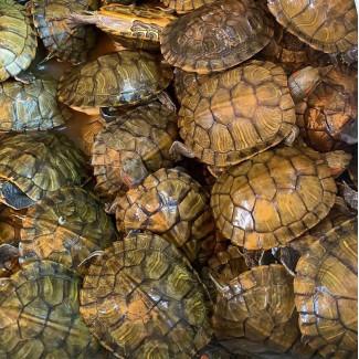 巴西龟(活体)